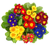 Assorted primula flowers isolated on white Stock Photography