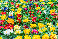 Assorted primulas Royalty Free Stock Images