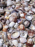 Assorted seashells Royalty Free Stock Image