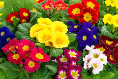 Assorted spring primulas. colorful flower blossoms Royalty Free Stock Images