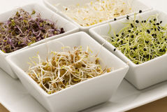 Assorted sprouts. Stock Image