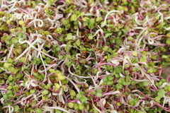 Assorted sprouts salad Royalty Free Stock Images