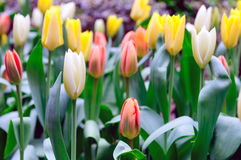 Assorted Tulips Stock Photo