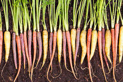 Assorted varieties of different colored carrots stock images