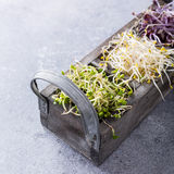 Assorted vegetable sprouts Royalty Free Stock Photo