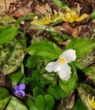 Assortiment coloré des wildflowers de ressort comprenant le trillium blanc, le lis de truite violet et jaune bleu Photo stock
