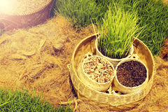 Assortimento di riso e di riso verde nei precedenti del riso del campo Fotografia Stock