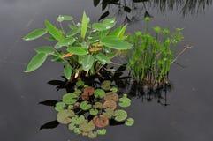 Assortimento sereno delle piante acquatiche in uno stagno di riflessione Fotografie Stock Libere da Diritti
