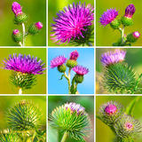 Assortment of bur thorny flower Stock Image