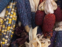 Assortment of Colorful Autumn Corn Stock Photography