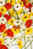 Assortment of cut daisies Stock Photo