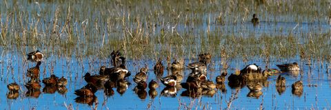 Ducks of all sorts rest in a marsh at Bosque del Apache National Wildlife Refuge in New Mexico. An assortment of ducks— Northern Shovelers, Cinnamon and Green Stock Image