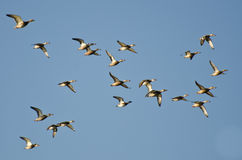 Assortment of Ducks Flying in a Blue Sky Stock Photography