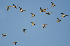 Assortment of Ducks Flying in a Blue Sky Royalty Free Stock Photography