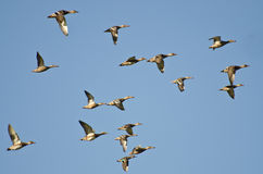 Assortment of Ducks Flying in a Blue Sky Stock Images