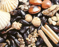 Assortment of fresh shellfish. Assortment of fresh marine shellfish used in seafood cuisine including, mussels, scallops and oysters in their shells Royalty Free Stock Images