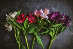 Assorted Colors of Alstroemeria Royalty Free Stock Image