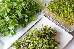 Assortment of microgreens. An organic healthy assortment of microgreens Stock Photo