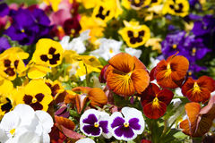 Assortment of Pansies Stock Images