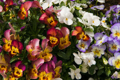 Assortment of Pansies (Viola tricolor hortensis) Stock Image
