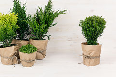 Assortment young green conifer plants in handmade pots with copy space on beige wood table. Stock Photography