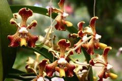 Assottigli le orchidee macchiate in un gruppo fotografia stock