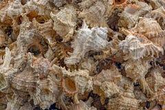 Asssorted sea shells Royalty Free Stock Photos