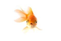 Assustado dourado dos peixes do koi isolado no fundo branco Fotos de Stock