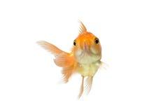 Assustado dourado dos peixes do koi isolado no fundo branco Imagens de Stock Royalty Free