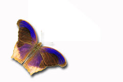 Assyrian purple butterfly. Isolated on white Stock Photography