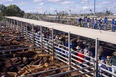 Asta del bestiame Fotografia Stock Libera da Diritti