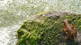 Astacus Astacus раков реки латинский двигает вперед вдоль зеленого камня покрытого с водорослями Конец-вверх Концепция живой прир видеоматериал