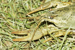 Astacus leptodactylus / Narrow-clawed crayfish Royalty Free Stock Photo