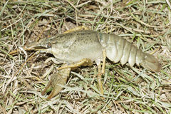 Astacus leptodactylus / Narrow-clawed crayfish Royalty Free Stock Photos
