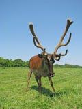 Astas de los ciervos Imagen de archivo