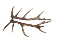 Astas de un macho de los ciervos comunes aislado Imagenes de archivo