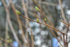 Aste del ramo della primavera Immagini Stock