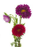 Asterów drzewni kwiaty Zdjęcia Royalty Free