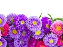 Asterów kwiatów granica Zdjęcia Royalty Free