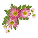 Asterów kwiatów kąt Fotografia Royalty Free