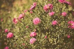 Asterów kwiatów kwiat w ogródzie Obrazy Stock