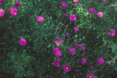 Asterów kwiatów kwiat w ogródzie Obraz Stock