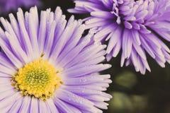 Asterów kwiatów kwiat w ogródzie Zdjęcia Royalty Free
