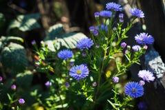 Asterów kwiatów kwiat w ogródzie Fotografia Royalty Free