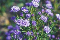 Asterów kwiatów kwiat w ogródzie Zdjęcia Stock