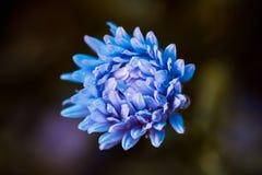Asterów kwiatów kwiat w ogródzie Zdjęcie Stock
