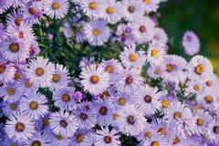 Asterów kwiatów kwiat w ogródzie Obraz Royalty Free