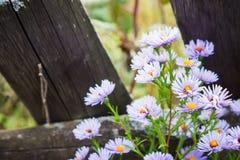 Asterów kwiatów kwiat w ogródzie Zdjęcie Royalty Free