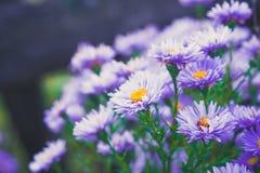Asterów kwiatów kwiat w ogródzie Fotografia Stock