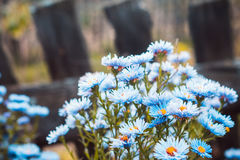 Asterów kwiatów kwiat w ogródzie Obrazy Royalty Free